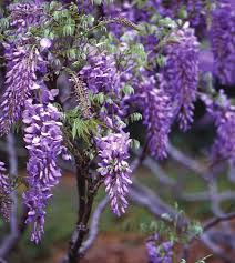 Blooms of Wisteria