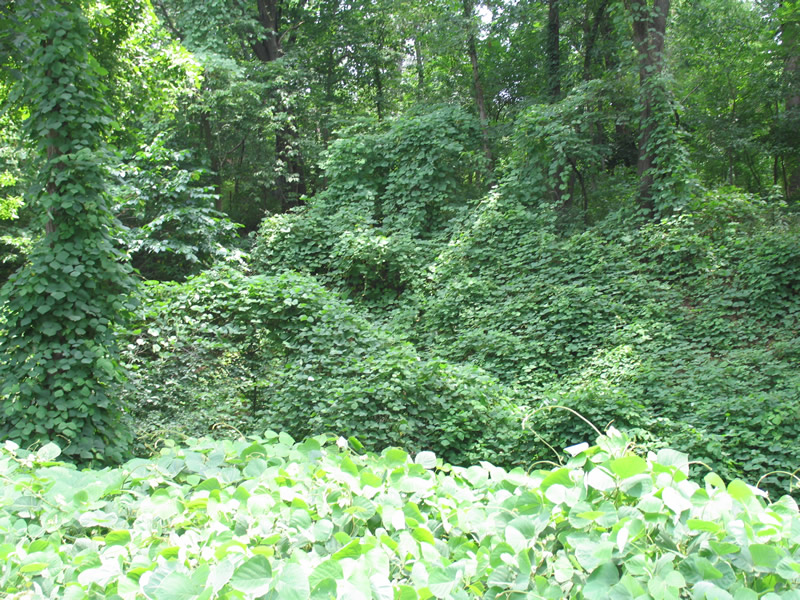 Kudzu growing in a forest